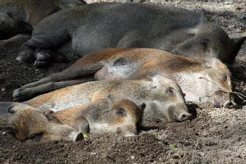 Müde Schweine