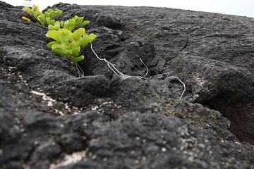 Ein Pflänzchen kämpft sich durchs Lavagestein