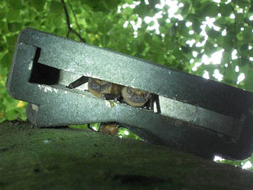 Blick von Unten in einen Fledermaus-Flachkasten, der von zwei Großen Abendseglern bewohnt wird.