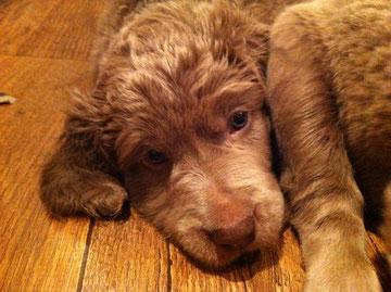 Diese Nase ist Koninck im Alter von 5 Wochen