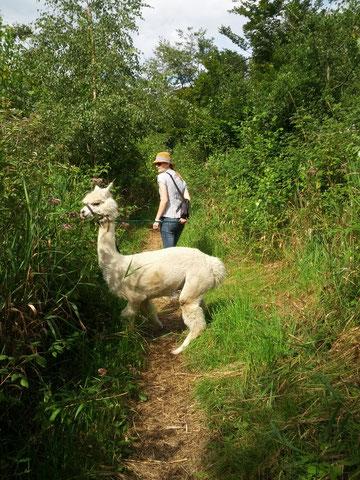 Trekkings mit Alpakas, Lamas haben wir nicht zu bieten.