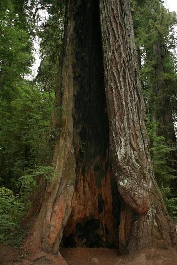 ...unglaublich riesige Bäume