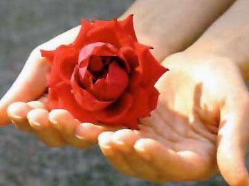 Bild: Rose in der Hand, wie sie blühen wir im Urlaub auf.