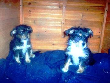 Romulo y Remo, dos preciosos cachorros, machos de 2,5 meses de edad. Tamaño peque/mediano, máximo 12 kilos de adultos. Muy buen carácter, cariñosos y juguetones