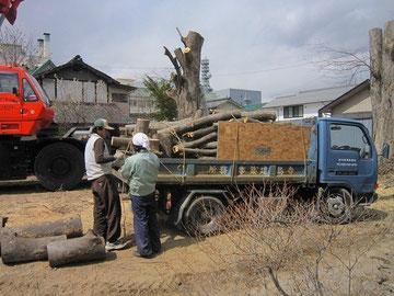 ケヤキ伐採