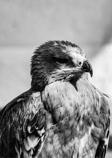 Esprit Fauconnerie -Spectacle et Initiation à la fauconnerie - © Lerox Photography