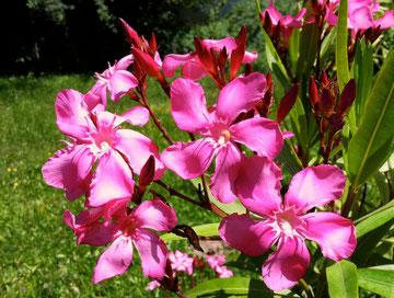 OLEANDER HAUS, Oleander Garten, Margaritha