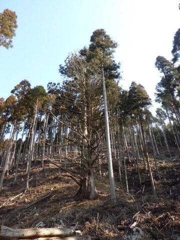 山の神の御神木 周りは間伐した人工林