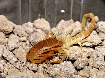 Escorpión mudando