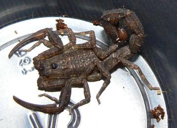 Escorpión del genero Tityus (De importancia médica)