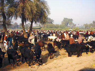 Cattle market in Pakistan. Photo; Y. Ishikawa.