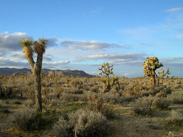 Joshua Tree National Park, C.A., US.                                   Photo by Benchristen.