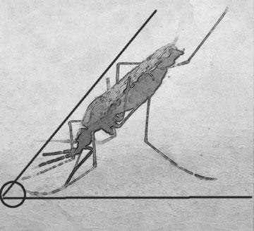 DISEGNO 3: Zanzara del genere Anopheles. Caratteristica la posizione obliqua del corpo rispetto al piano di appoggio.