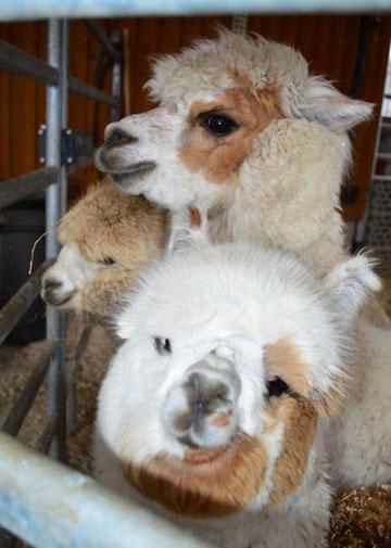 Alpakas: Zum Knuddeln süß. Aber: sie spucken gerne!