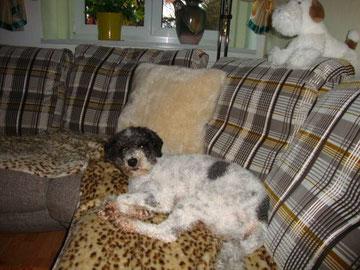 Cholo (nun Pauli) bekam einen Platz auf dem Sofa in Sebnitz.