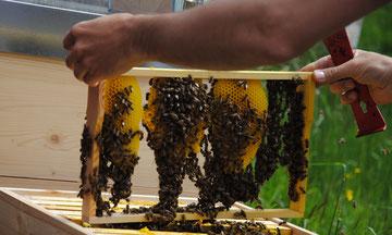 Die wesensgemäße Bienenhaltung wird immer beliebter, mit 30 zertifizierten Bio-Imkereien ist die Anzahl in Kärnten allerdings noch bescheiden...