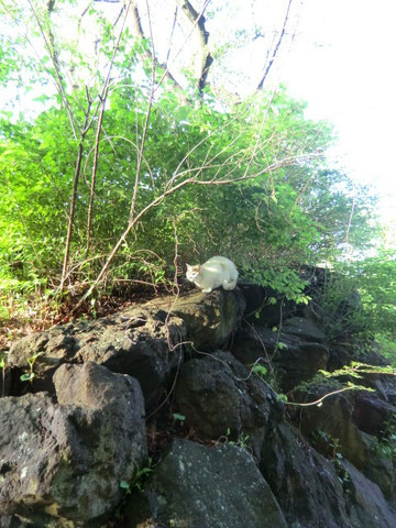 白い猫は探索員を避けるように近くの岩の上へ