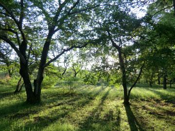雑木林に朝日が。野川にむかう途中