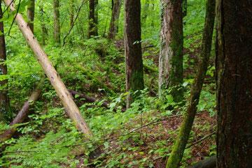 Der Wald ist vollkommen dicht...