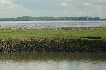Weiden am Ufer der Elbe, Kühe