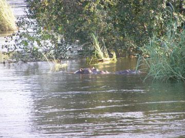 Hippopotames dans le Zambèze