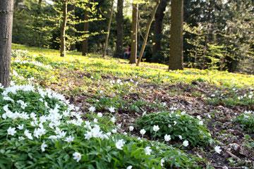 Blühender Waldboden  in der Aprilsonne . Foto: Helga Karl