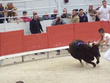 course camarguaise: hier ist der Stier der Star
