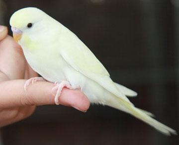 Vanilla bzw, doch Lemon - GG doppelfaktoriger Spangle Zimt