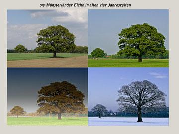 Vierjahreszeiten-Eiche im Münsterland