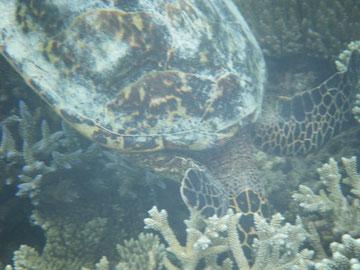 Schildkröte am Hausriff von Athuruga