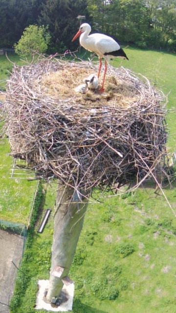 Holzmast Nest 1 ; Foto: Kay Timm, 24.05.14