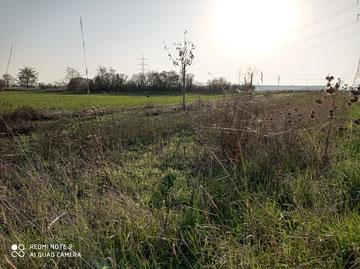 Blühfläche des NABU-Projektes Grüner-Gürtel-Groß-Gerau