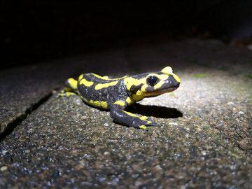 Salamander im Straßenverkehr