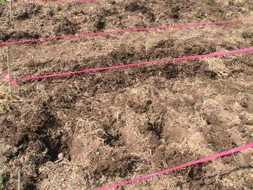 2011年5月24日ジャガイモと小麦の種まき