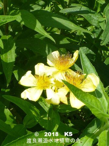 渡良瀬遊水地に生育しているトモエソウの全体画像と説明文書(開花)
