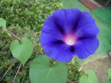 葉がハート型の【赦しの花】