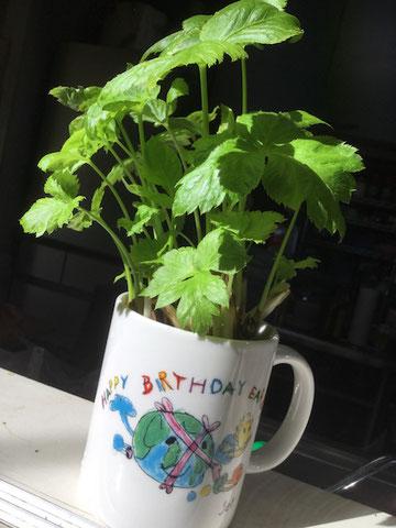 再生栽培の根三ツ葉