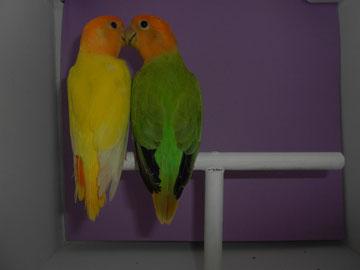 Rossicoli opalino verde cara naranja (macho) y Opalina Lutina (hembra)
