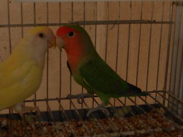 Rossicoli Verde Ancestral / Ino(macho) y Rossicoli Aqua / Ino (hembra)