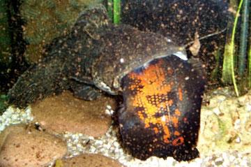 Cephalosilurus spec. & Astronotus ocellatus