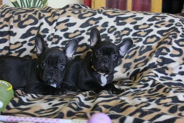 Chocolate puppies 2013