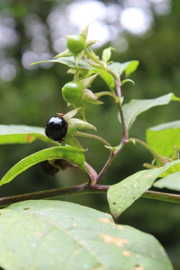 TOLLKIRSCHE (Atropa belladonna L.)