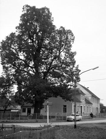 Linde in Zissersdorf