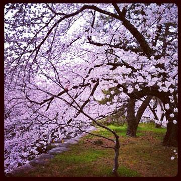 桜の木の下には・・・