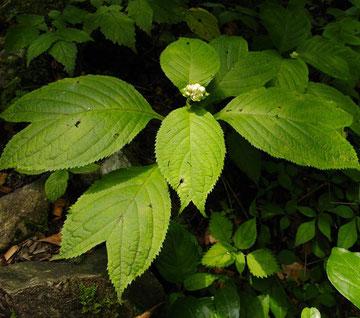#2 ギンバイソウの花芽 2つに割れた葉が特徴