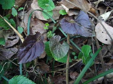 タカオスミレの葉