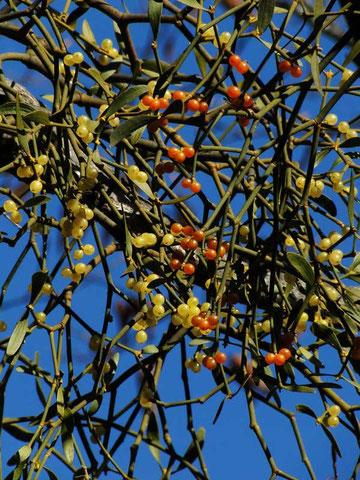 ヤドリギの果実