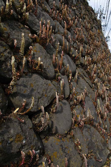 石垣に咲くツメレンゲ  2011.10.23