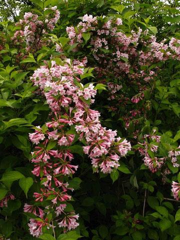 写真6 タニウツギ (谷空木) スイカズラ科