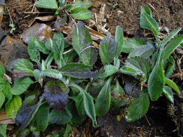 イズハハコの根生葉